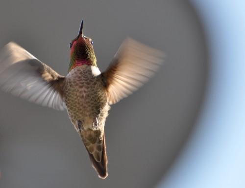 hummingbird23
